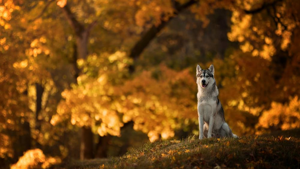 Husky in the fall forest wallpaper