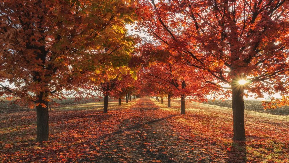 Red tree lane at fall wallpaper