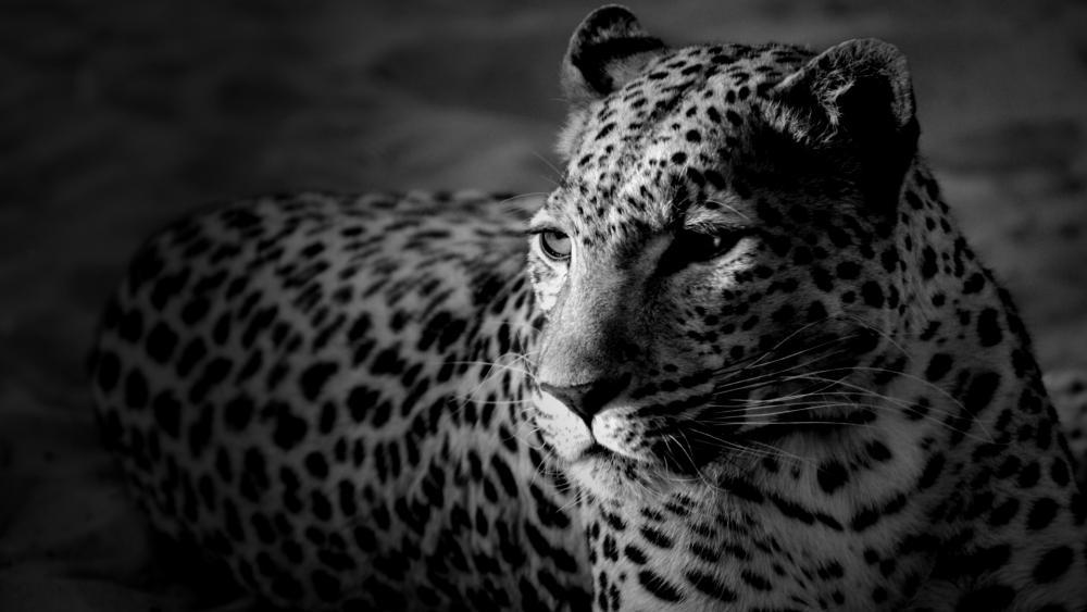 Leopard - Monochrome photography wallpaper