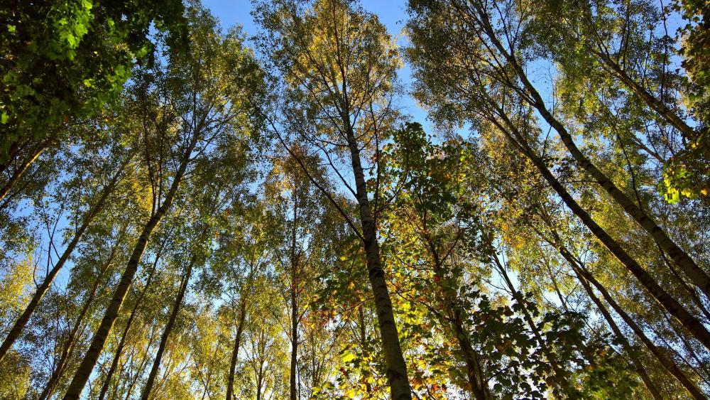 Worm's-eye view fall trees wallpaper