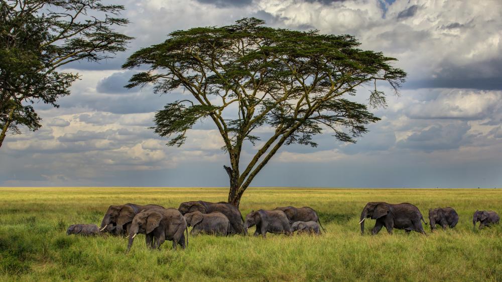 Herd of elephants 🐘🐘🐘 wallpaper