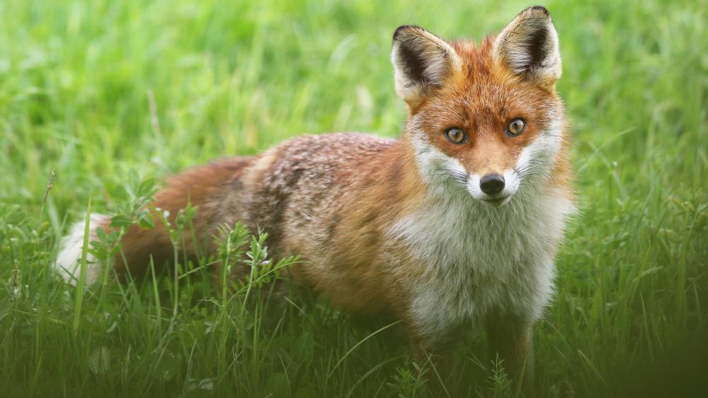 Red fox 🦊 wallpaper