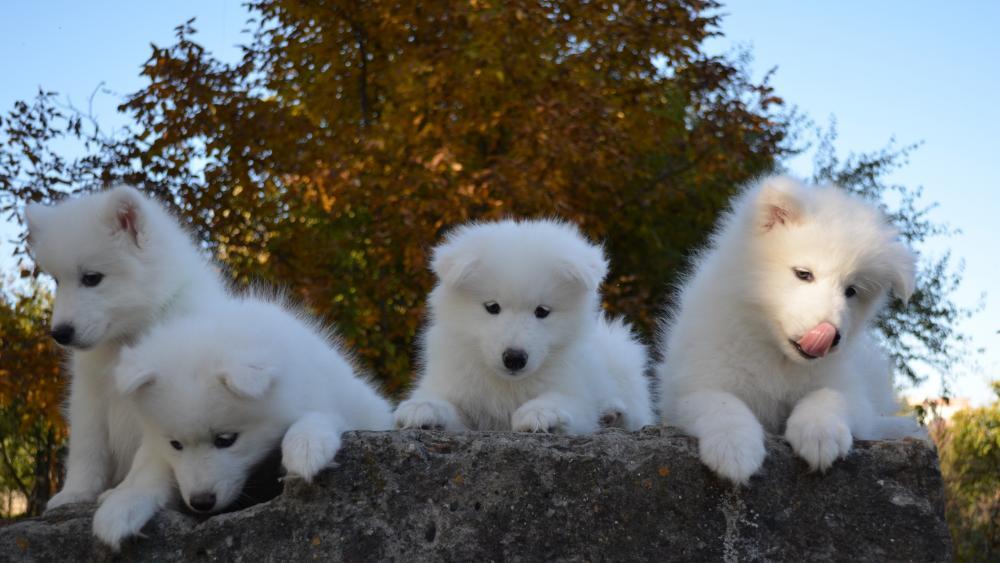 Samoyed dog puppies wallpaper