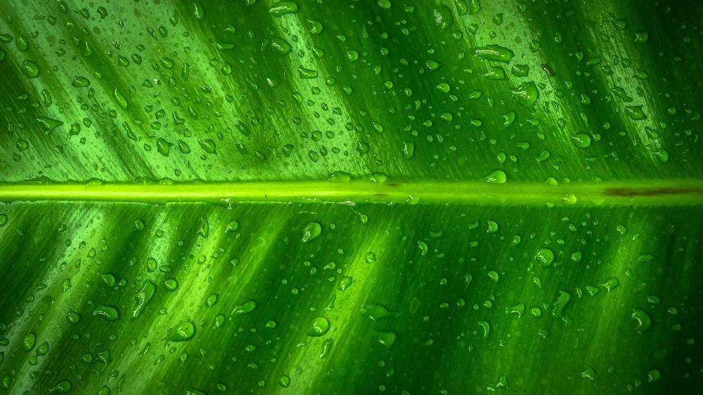 Banana Tree Leaf wallpaper