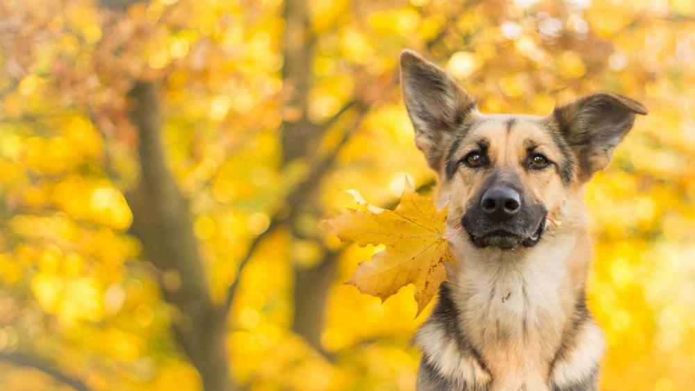 German shepherd dog with a yellow leaf wallpaper