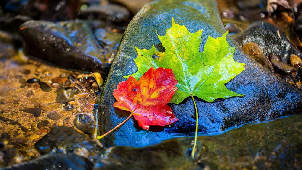 Green and red maple leaves wallpaper