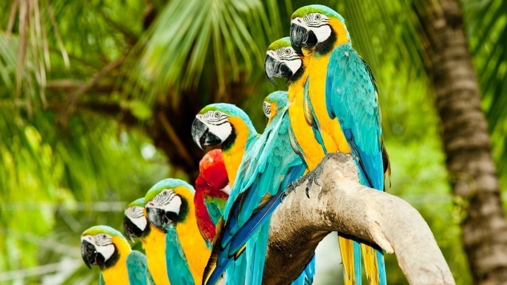 Macaw Parrots wallpaper