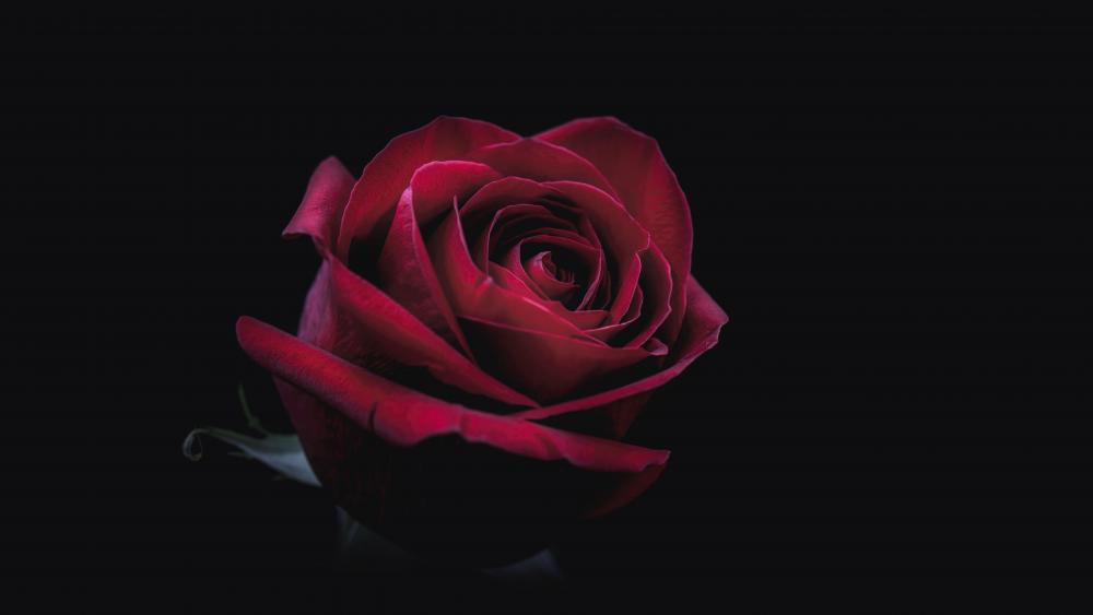 Red rose in the darkness wallpaper