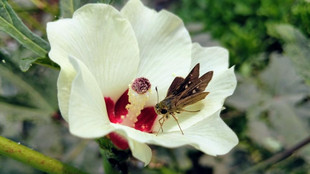Moth on white flower wallpaper