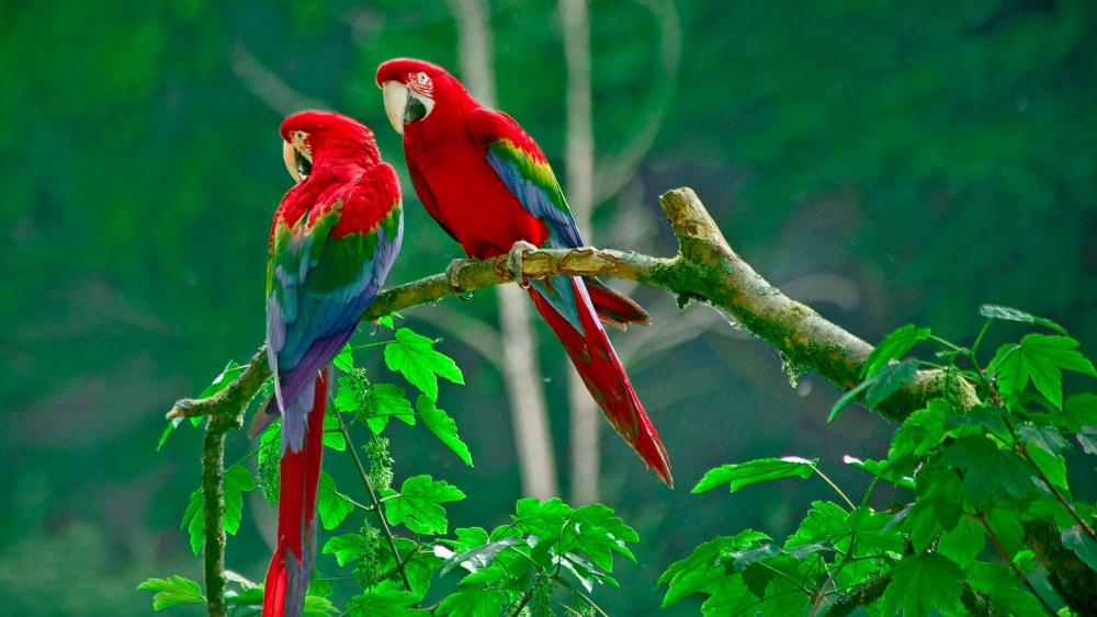Red macaw couple wallpaper