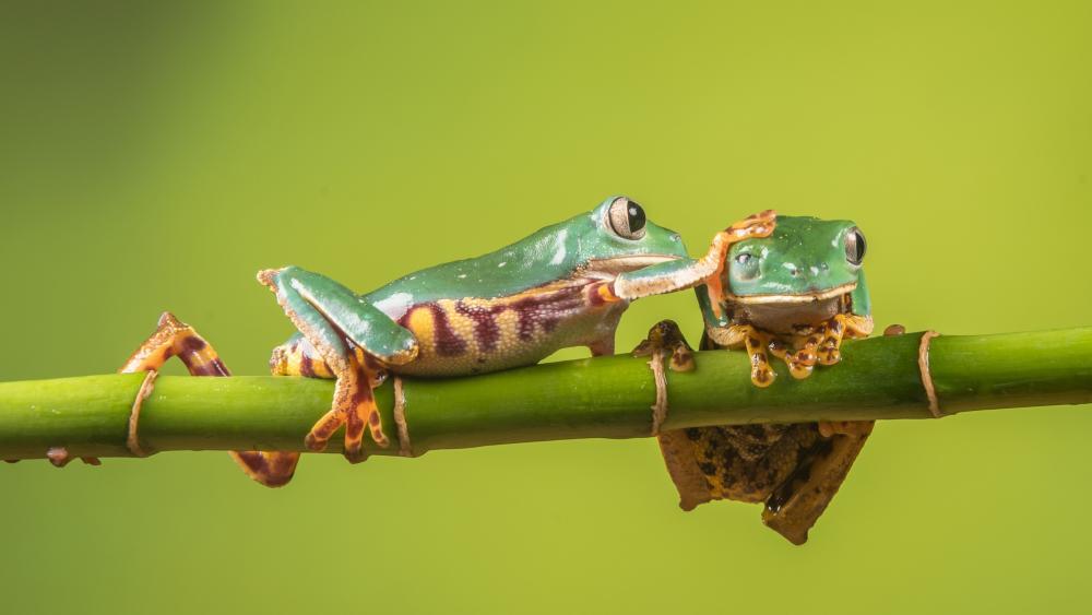 Frogs wallpaper