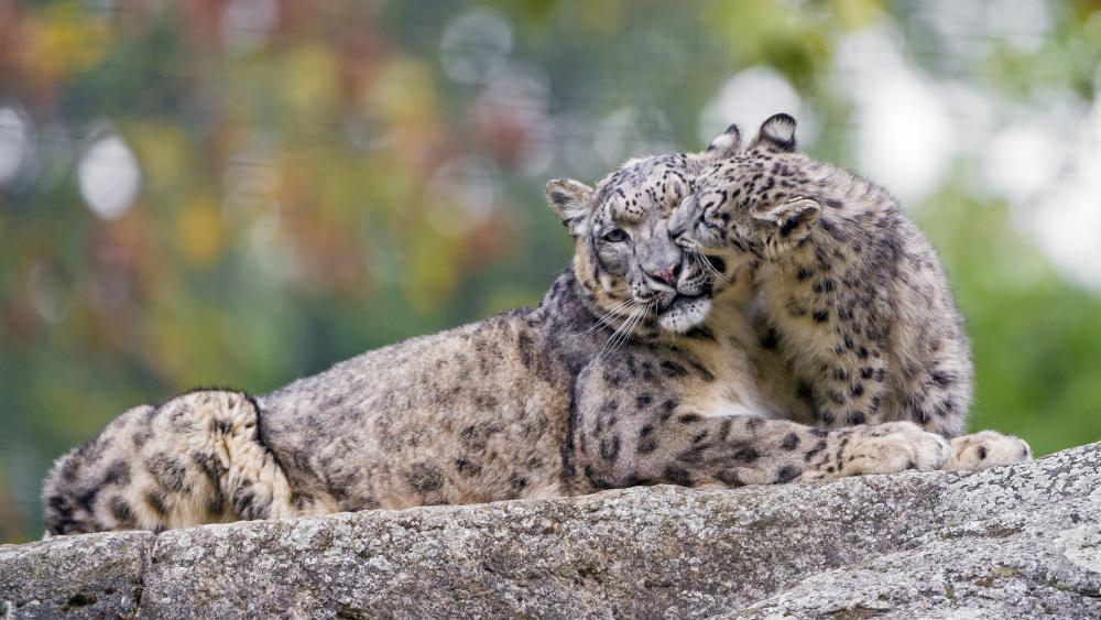 Snow Leopard mom with a cub wallpaper