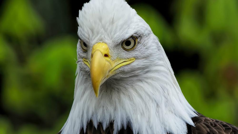 Bald Eagle close up wallpaper