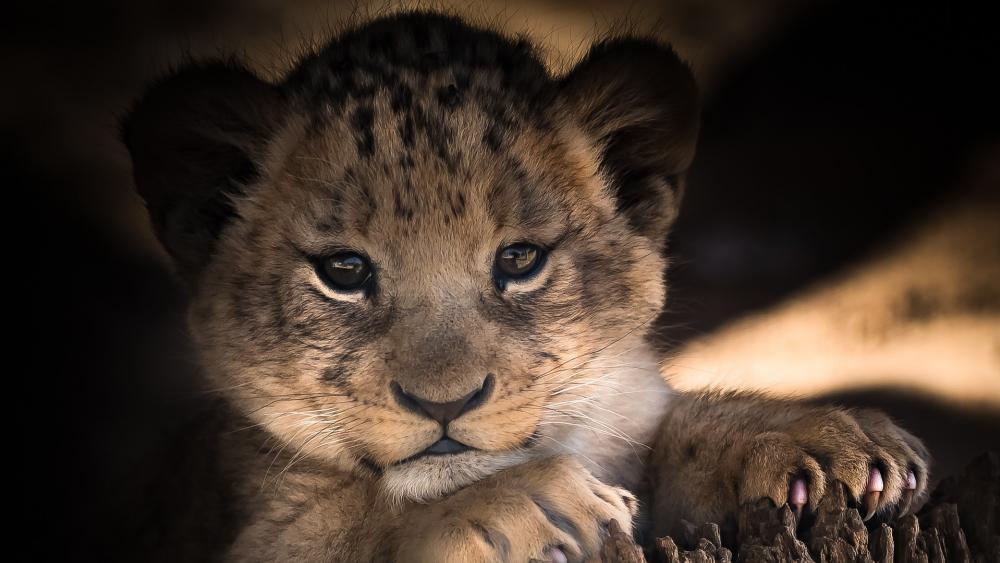 A cute lion baby (cub) wallpaper