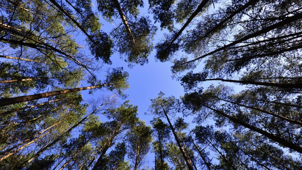 Worm's-Eye View of Tall Trees wallpaper