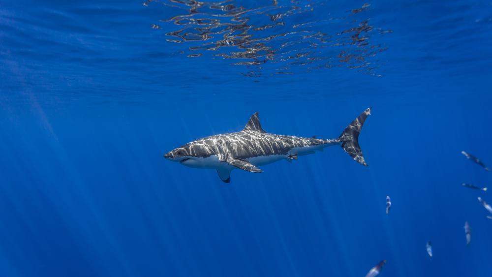 Great white shark in the sunrays wallpaper