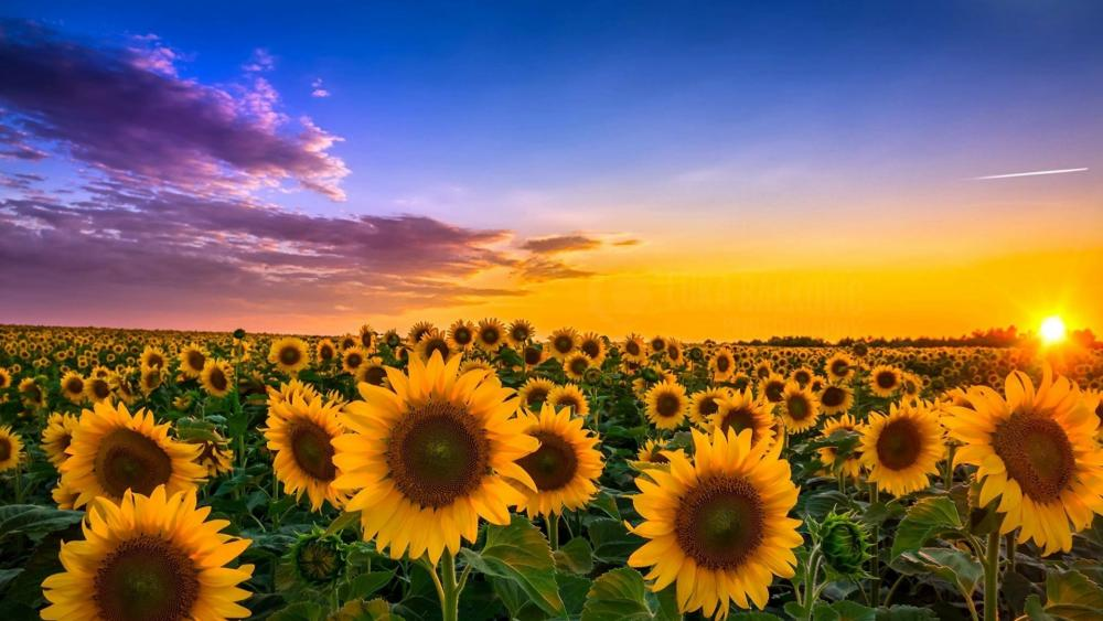 Sunflowers in the sunrise wallpaper