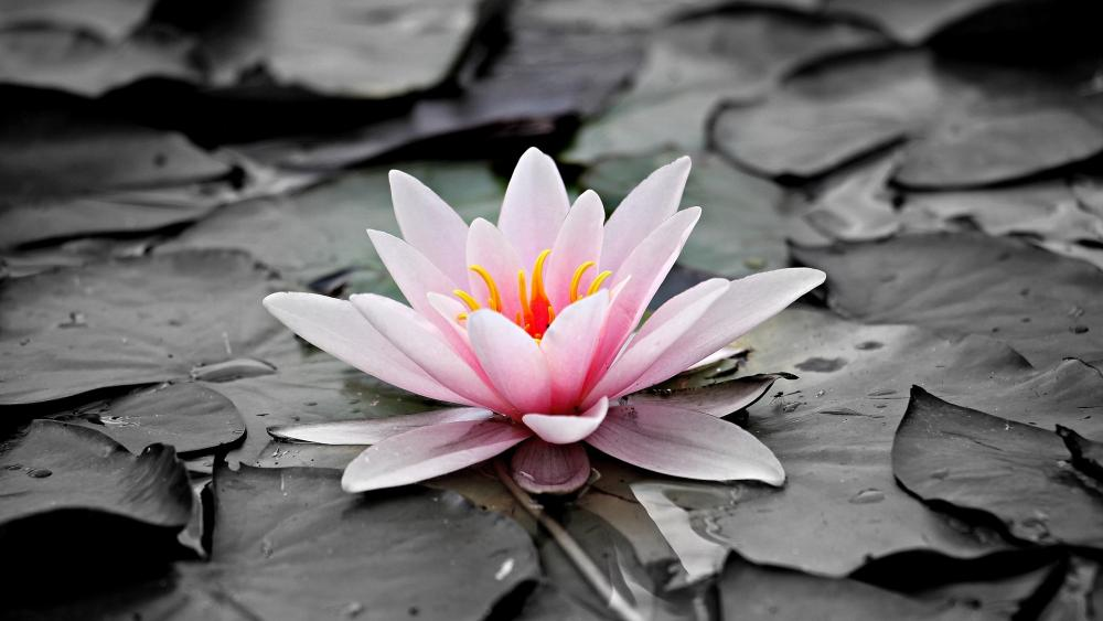 Pink water lilly on monochrome background wallpaper