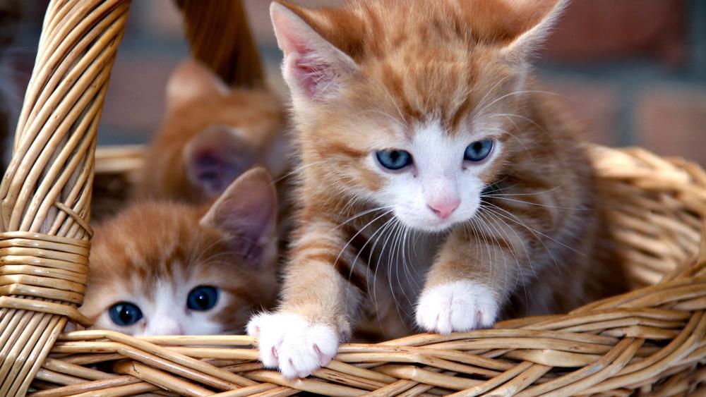 Cute kittens in wicker basket wallpaper
