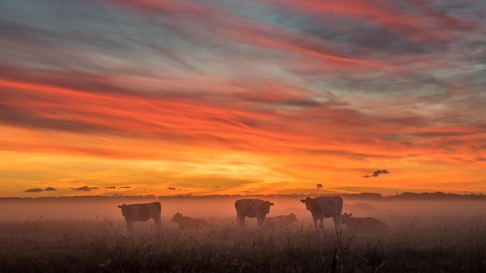 Cow herd in the morning fog wallpaper