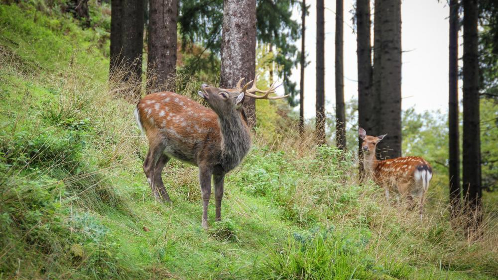 When the deer roars wallpaper