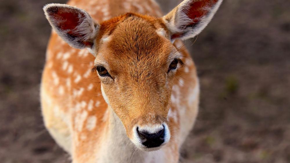 Deer glance wallpaper