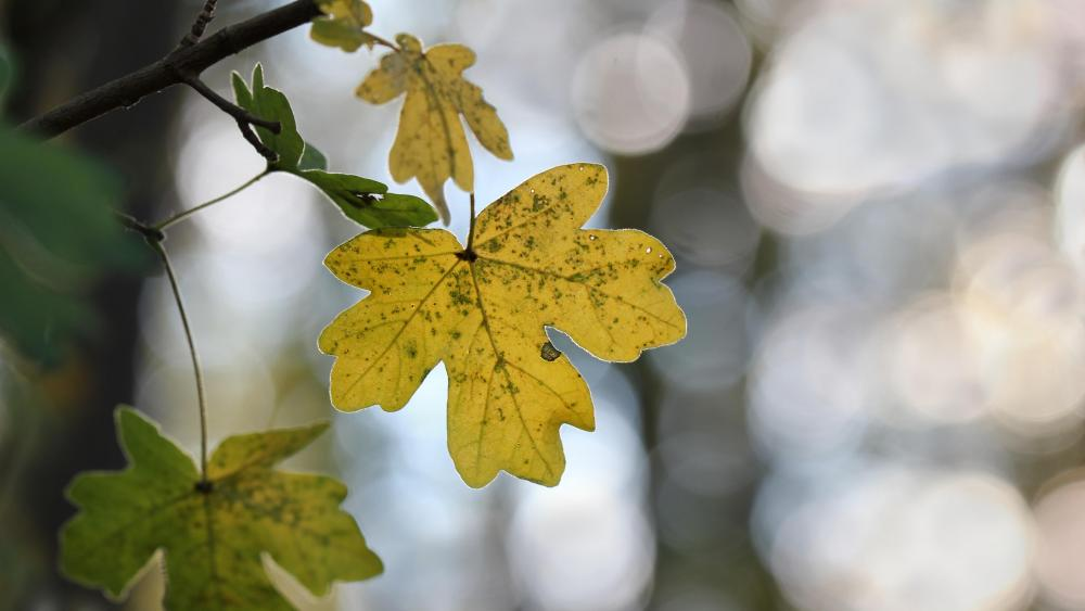 Yellow leaf wallpaper