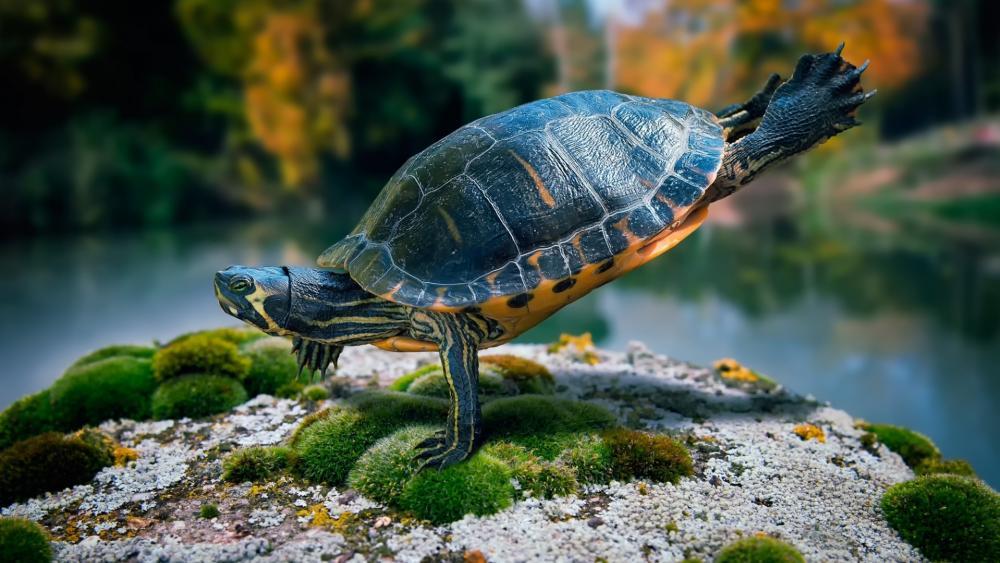Acrobatic turtle wallpaper