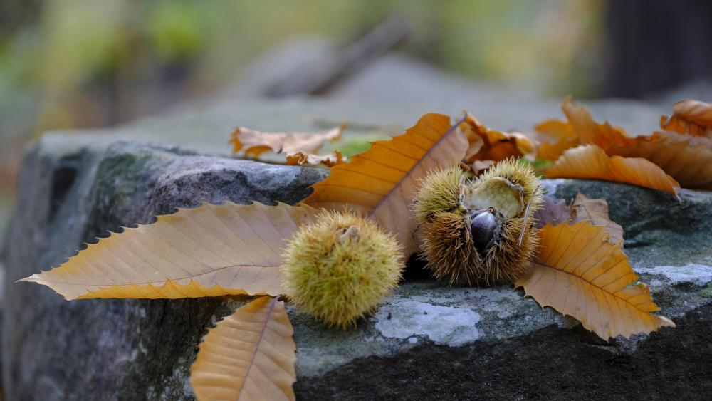 Chestnuts and autumn leaves wallpaper