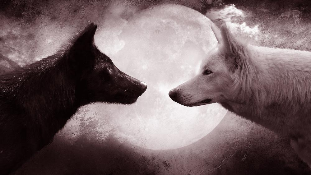 White wolf and black wolf at full moon wallpaper