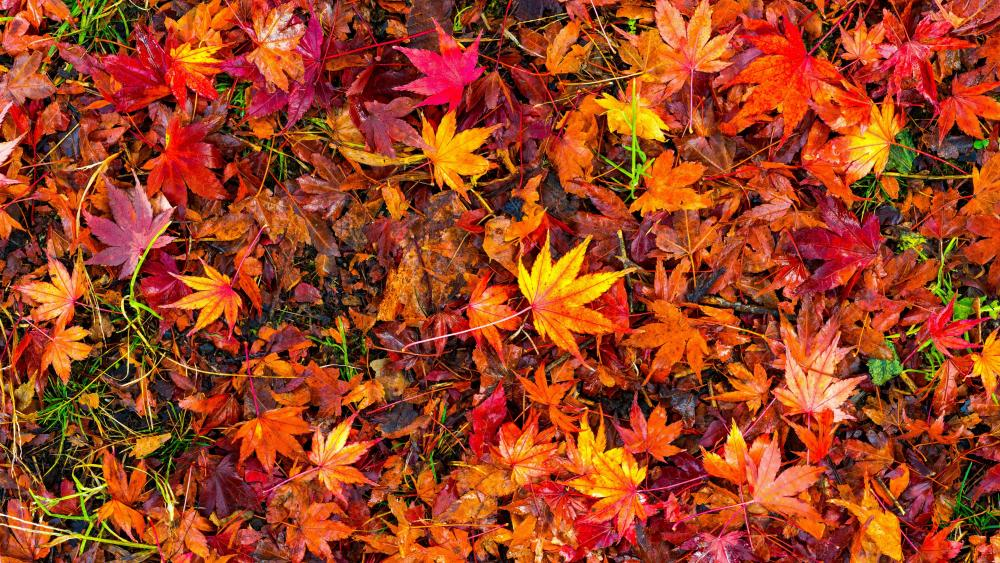 Red autumn leaves wallpaper
