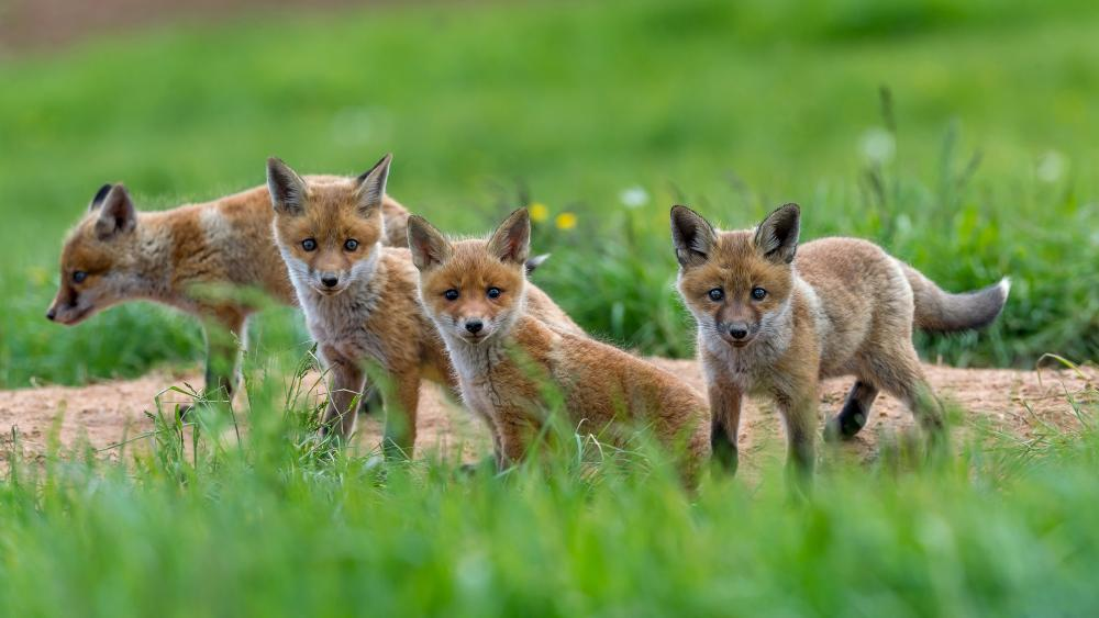 Cute fox cubs wallpaper