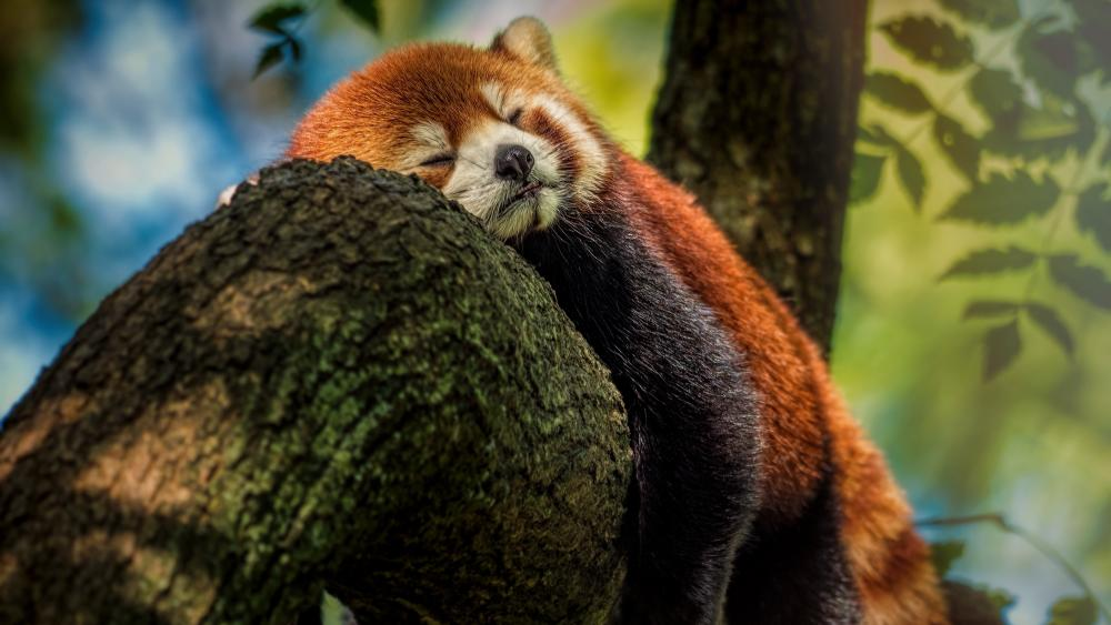 Sleeping Red Panda wallpaper