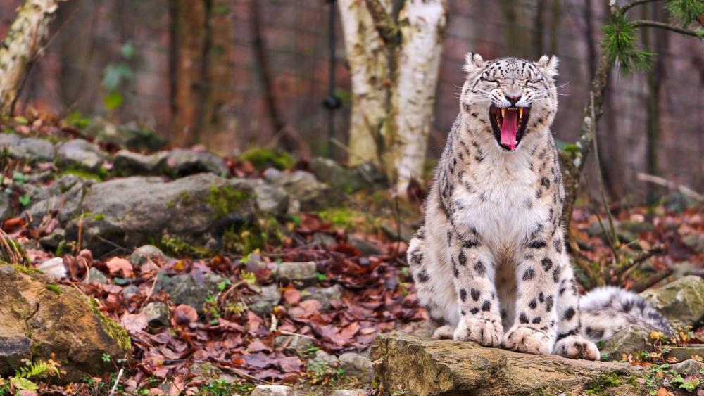 Yawning Snow Leopard wallpaper