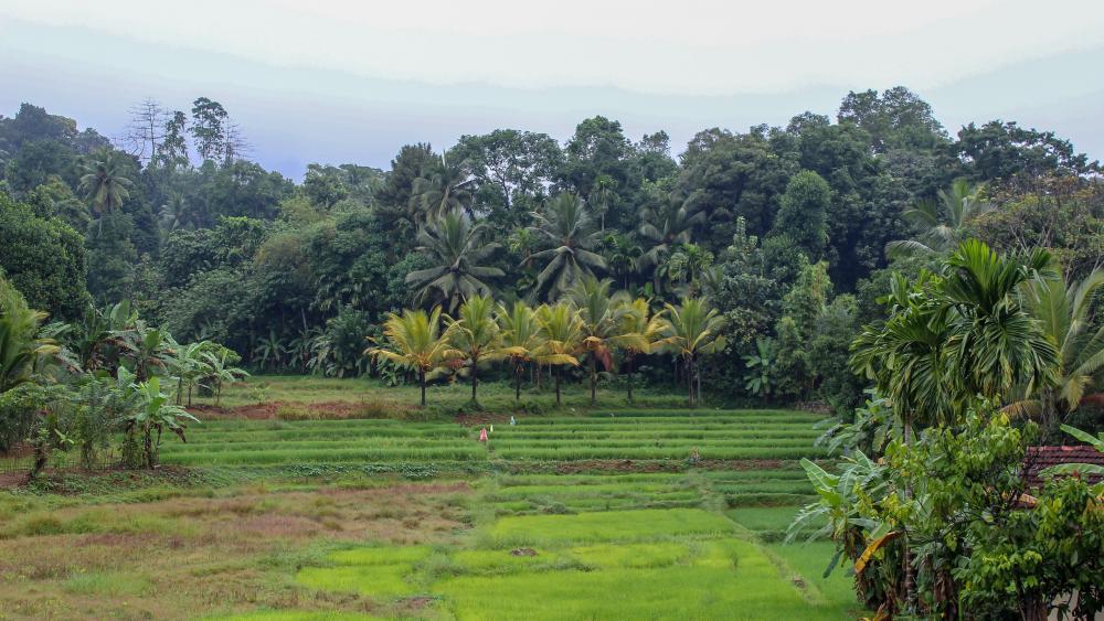 Paddy fields, Sri Lanka wallpaper