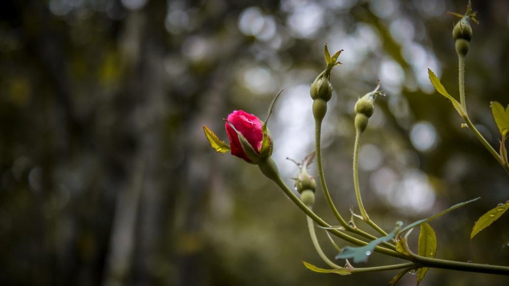 Wild rose bud wallpaper