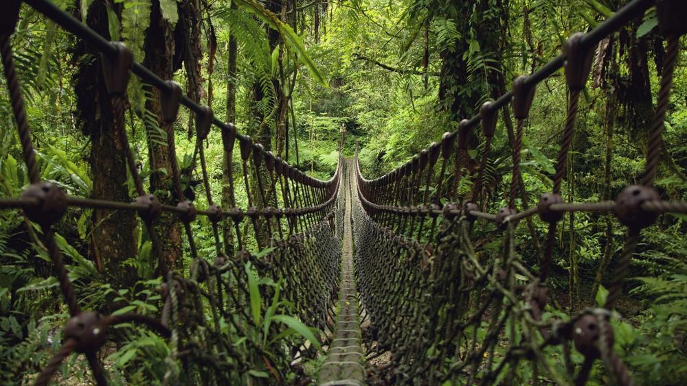 Suspension bridge in the jungle wallpaper