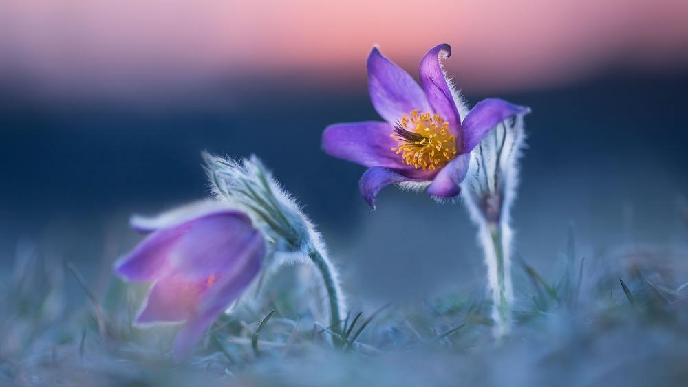 Purple pasque flowers wallpaper