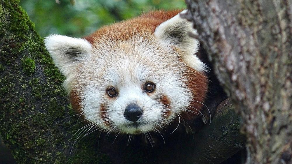 Red Panda wallpaper