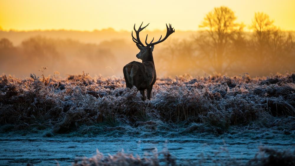 Deer in the hoary grass wallpaper