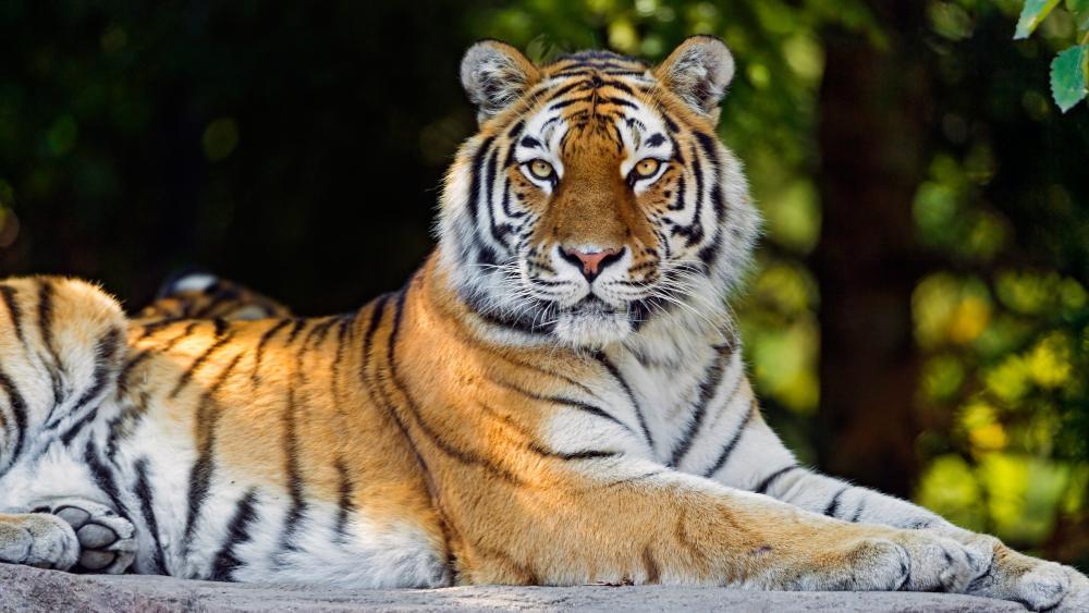 Tiger 🐯 wallpaper