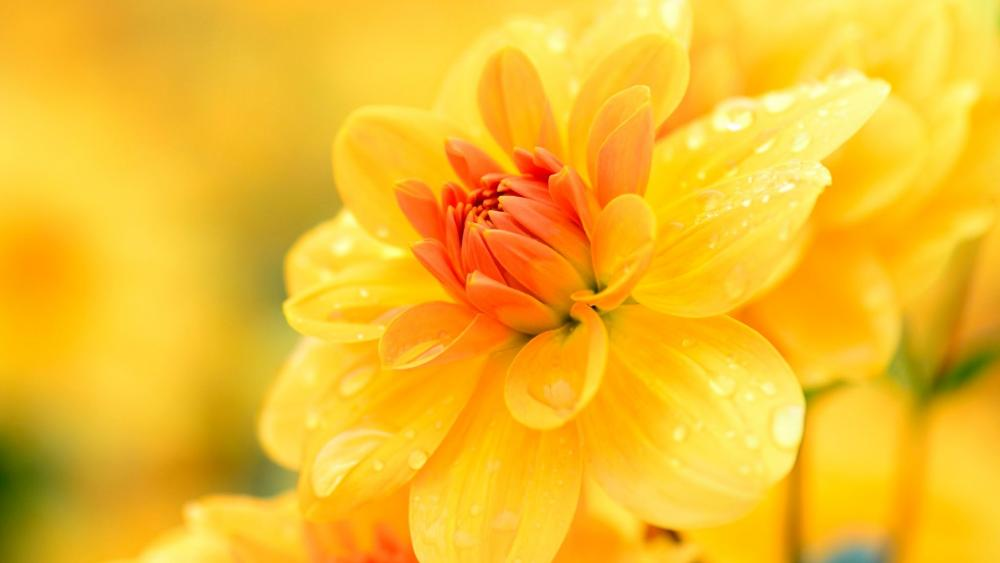 Yellow Dhalia wallpaper