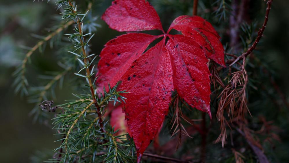 Close-up red Leaf wallpaper
