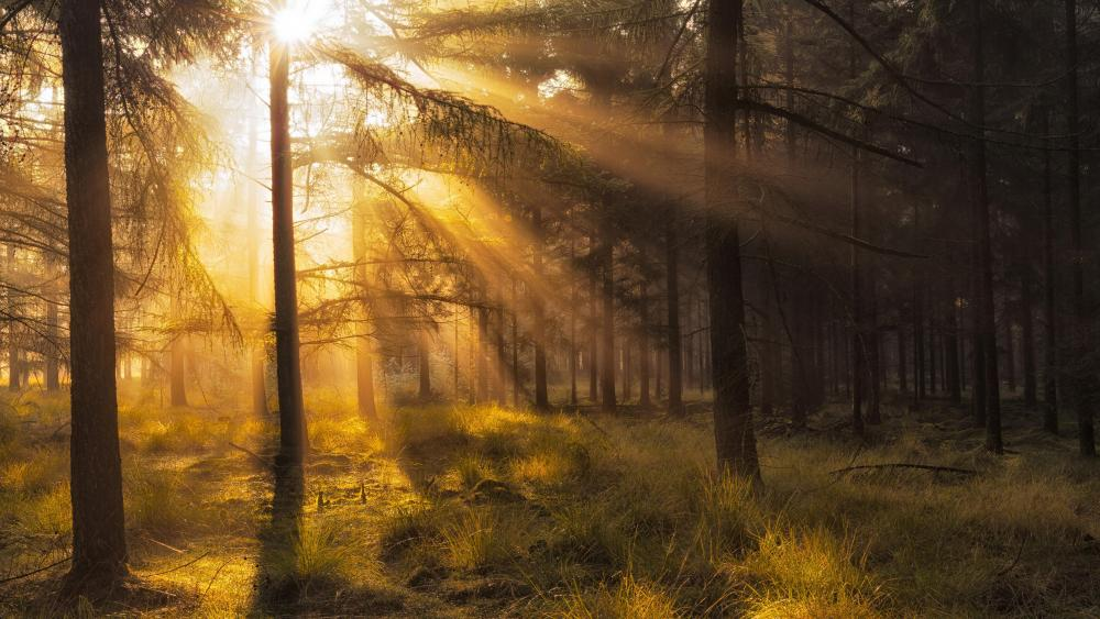 Rays of light in the fir forest wallpaper