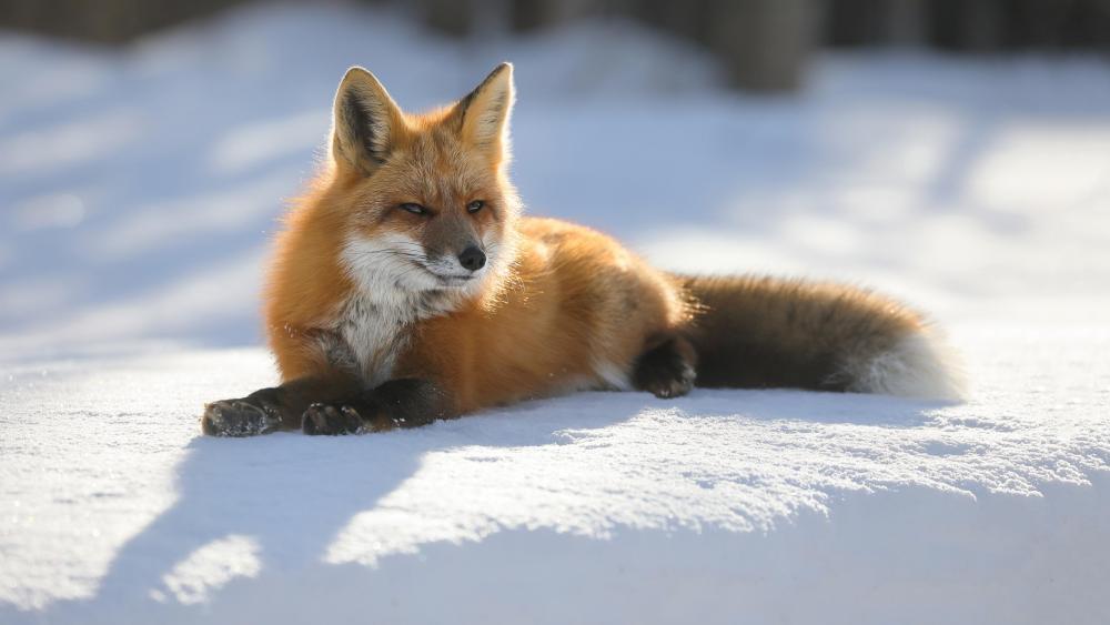 Fox lies on the snow wallpaper