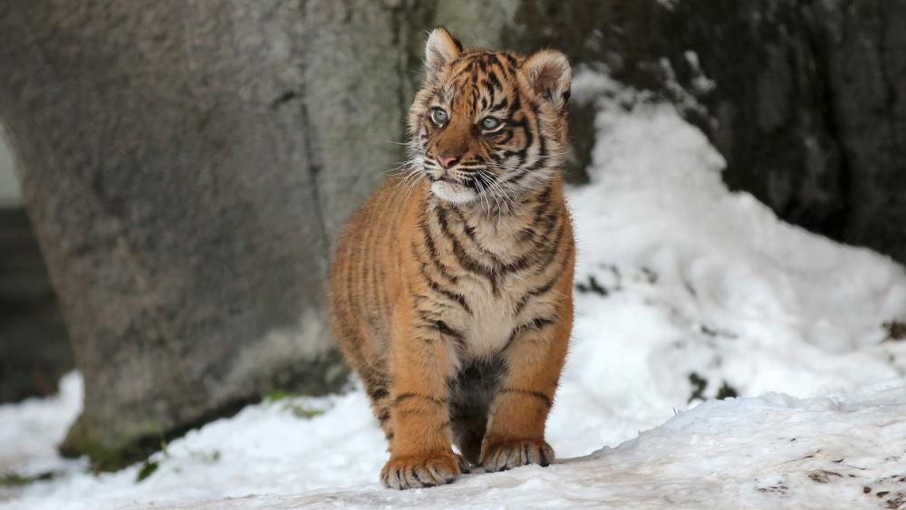Tiger cub wallpaper