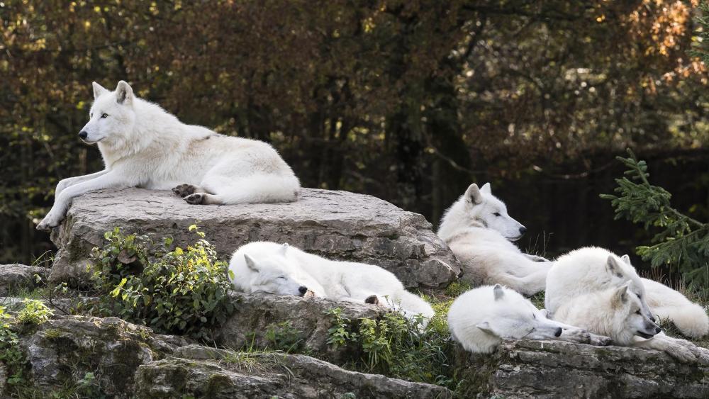 Pack of Artic Wolves wallpaper