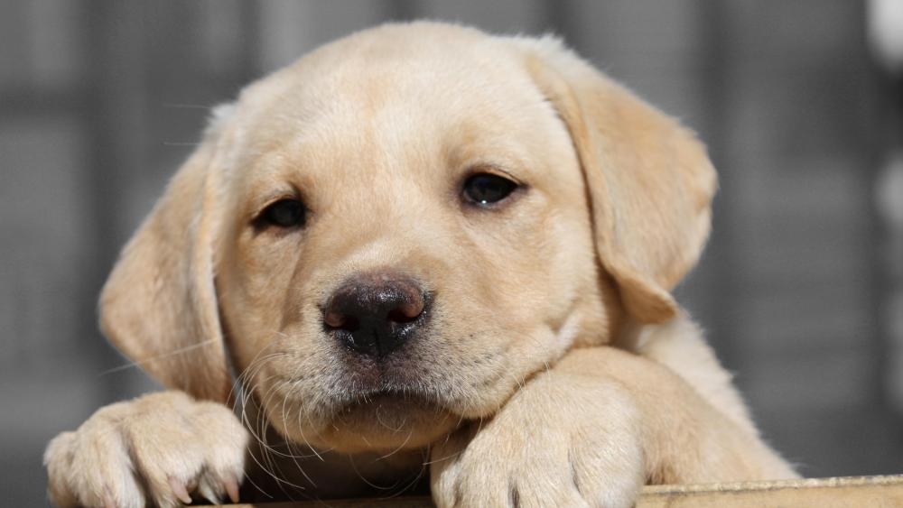 Labrador Retriever puppy wallpaper