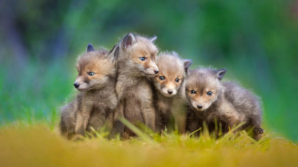 Four cute little foxes wallpaper