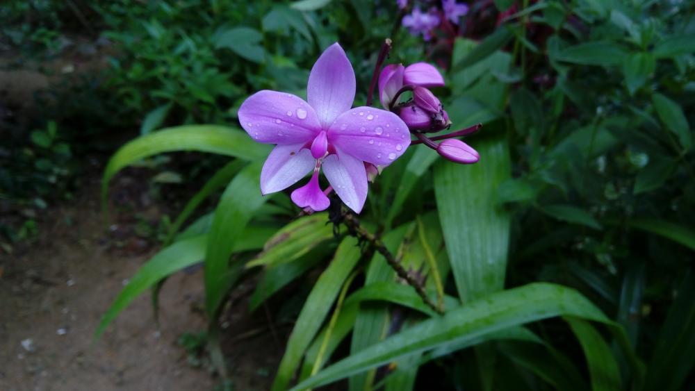 Dewdrops on orchid flower wallpaper